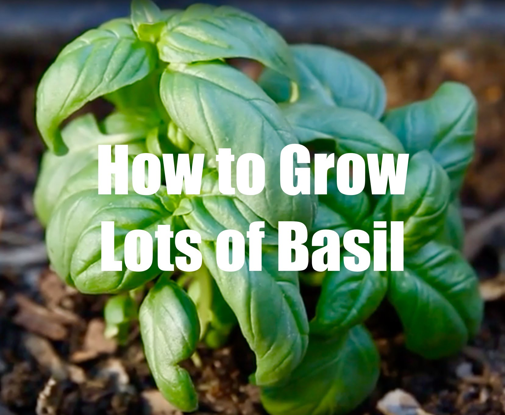 Basil Care from Seed to Food - TOP